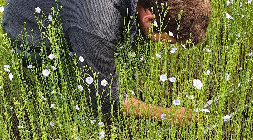 Observation du peuplement de plantes de lin Crédit photo : Gnis Partager sur Facebook